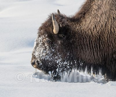 Bison_in_snow-1022_January_20_2018_Nat_White