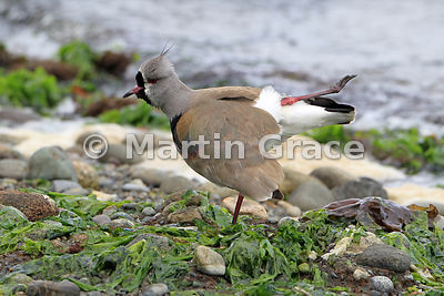 Southern Lapwing (Vanellus chilensis), Chiloe Island, Chile, stretching a leg in a very balletic manner