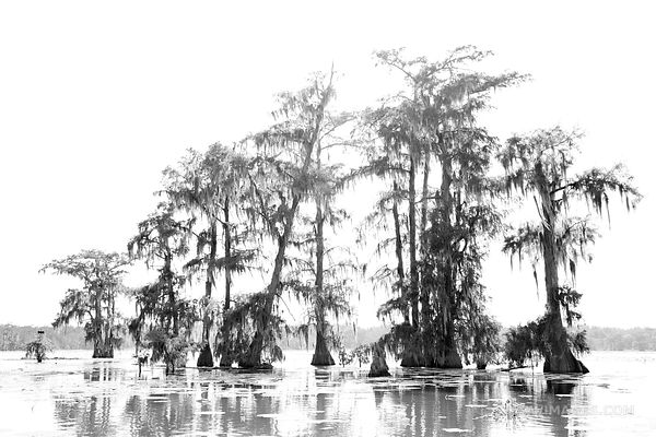 BALD CYPRESS TREES LAKE MARTIN LOUISIANA SWAMP BLACK AND WHITE