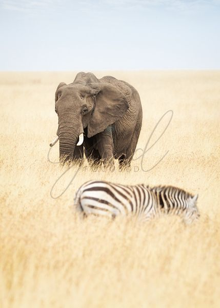 One Elephant and Zebra in Africa