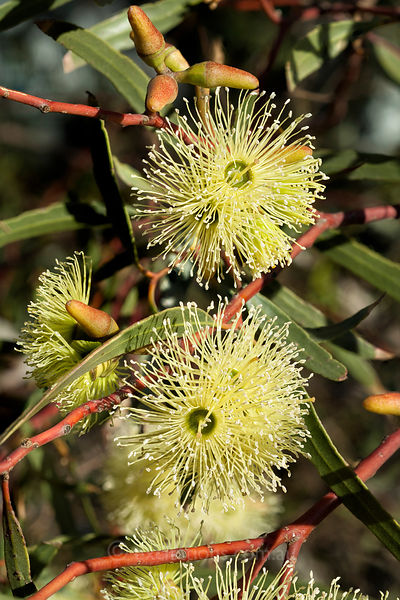 Yellow flowering Eucalypt