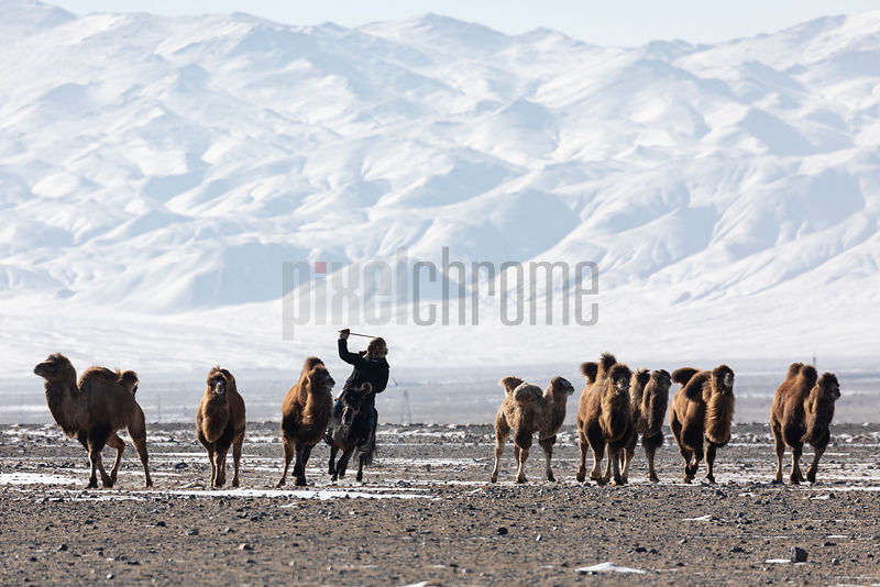 Herding Camels during the Migration