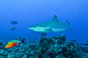 Albimarginatus shark along Rangiroa's atoll reef in French Polynesia