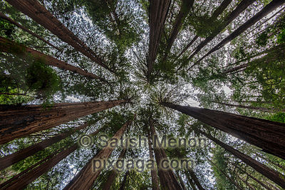 Redwood trees, Muir Woods, Mill Valley, CA, USA