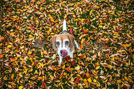 Beagle with tonge out in leaves