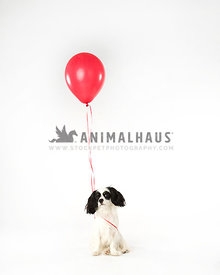 Black and white shaggy dog with red ballon on white background