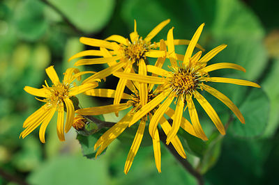 Ligulaire - Leopardplant (Ligularia dentata)
