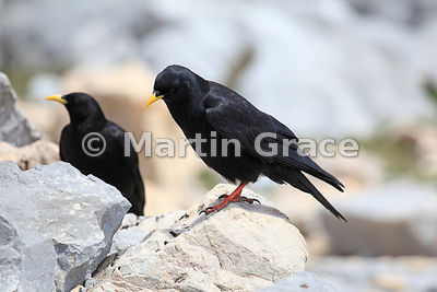 Two Alpine or Yellow-Billed Choughs (Pyrrhocorax graculus), Picos de Europa, Cantabria, Spain