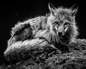 3037-Renard_Roux_du_Yellowstone_Wyoming_USA_2014_Laurent_Baheux