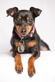 MinPin Dog white background