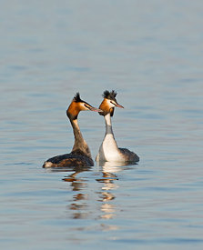 Great-crested Grebe Podiceps cristatus Lake Geneva Switzerland