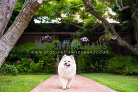 Pomeranian walking proudly in front of house
