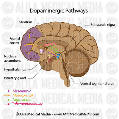 Dopamine pathways.