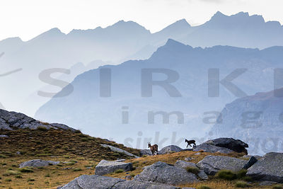 Female Alpine ibex with young