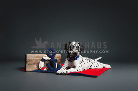 Dalmation puppy with nautical props in studio