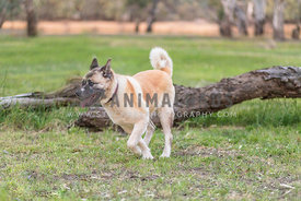 Large dog running on grass with log in background.