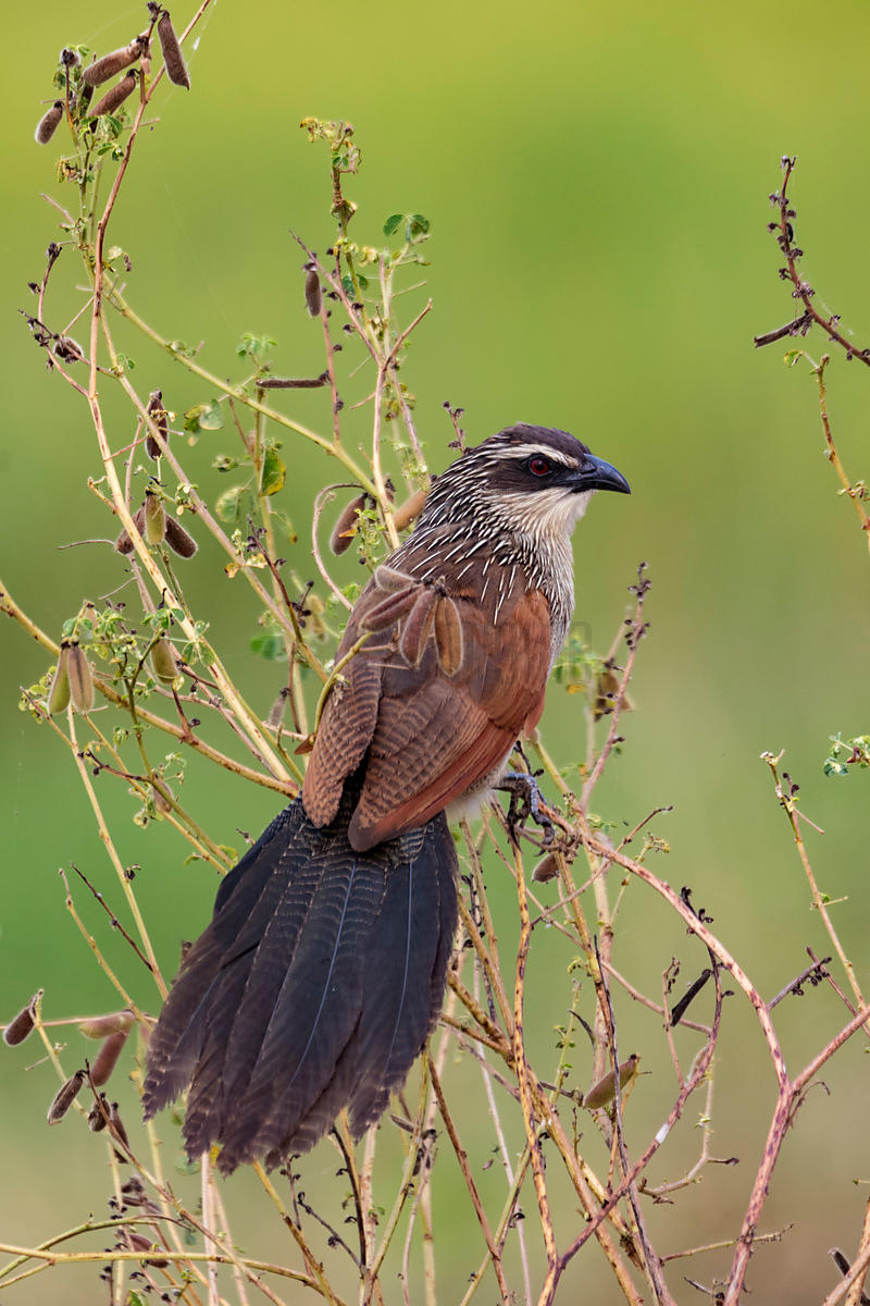 Portrait of a White-Browed Coucal