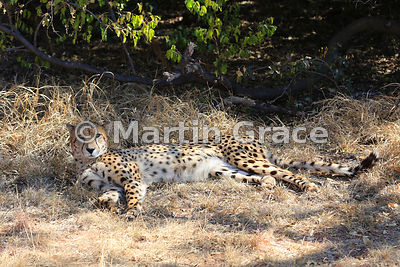 Cheetah (Acinonyx jubatus), De Wildt Cheetah Centre, Republic of South Africa