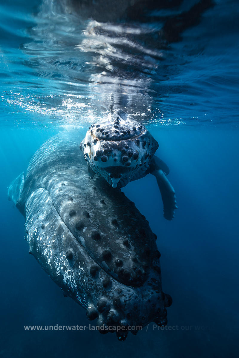 Humpback whale - Underwater Photography
