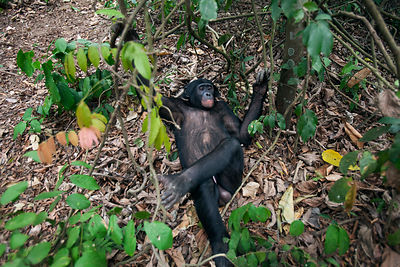 Bonobo (Pan paniscus) looking down on mature male 'Tembo' lying down, Lola Ya Bonobo Sanctuary, Democratic Republic of Congo....