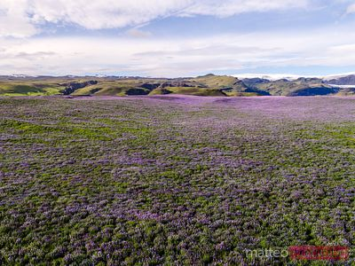 Aerial drone view of lupin fields in summer, Iceland