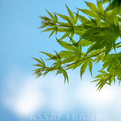 Close up of Acer branches with fresh gresn leaves