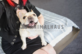 Smiling French Buldog sitting on woman's lap