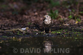 Mistle Thrush Turdus viscivorus coming to drink at woodland pool North Norfolk March
