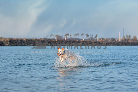white pitbull mix running through the water making big splash