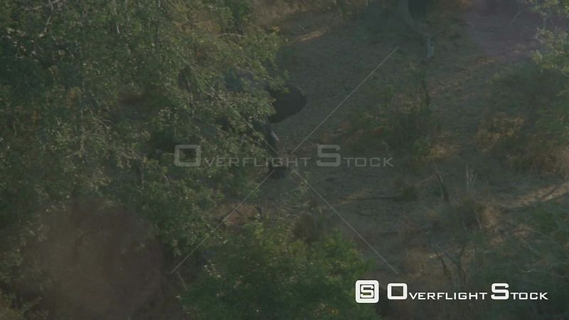 Aerial lens flash single elephant standing in clearing surrounded by trees Botswana