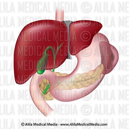 Digestive organs and the spleen