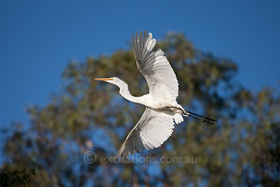 Eastern Great Egret (Ardea modesta).