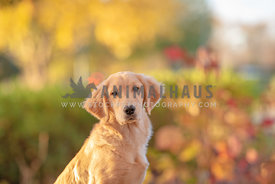 close up of young golden retriever with fall colors in the background