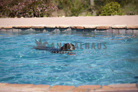 Bernese Mountain Dog swimming alone in a pool
