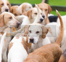 Cottesmore hounds at the meet - The Cottesmore Hunt at Belton-in-Rutland 21/12
