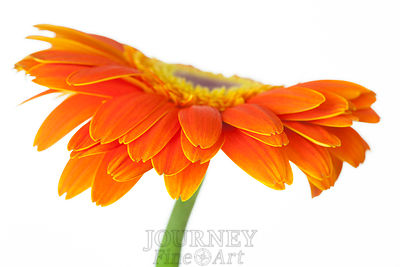 Orange Daisy Side