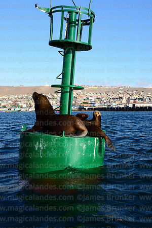 Female South American sea lions ( Otaria flavescens ) resting on buoy in port , Ilo , Peru