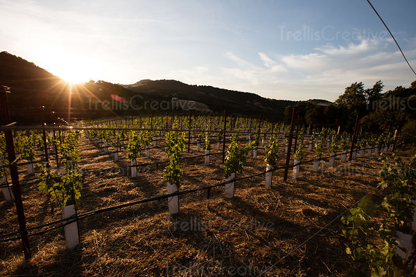 Row of grapevines sapling in field at sunset casting long shadows