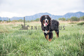 bernese mountain dog puppy standing in long grass