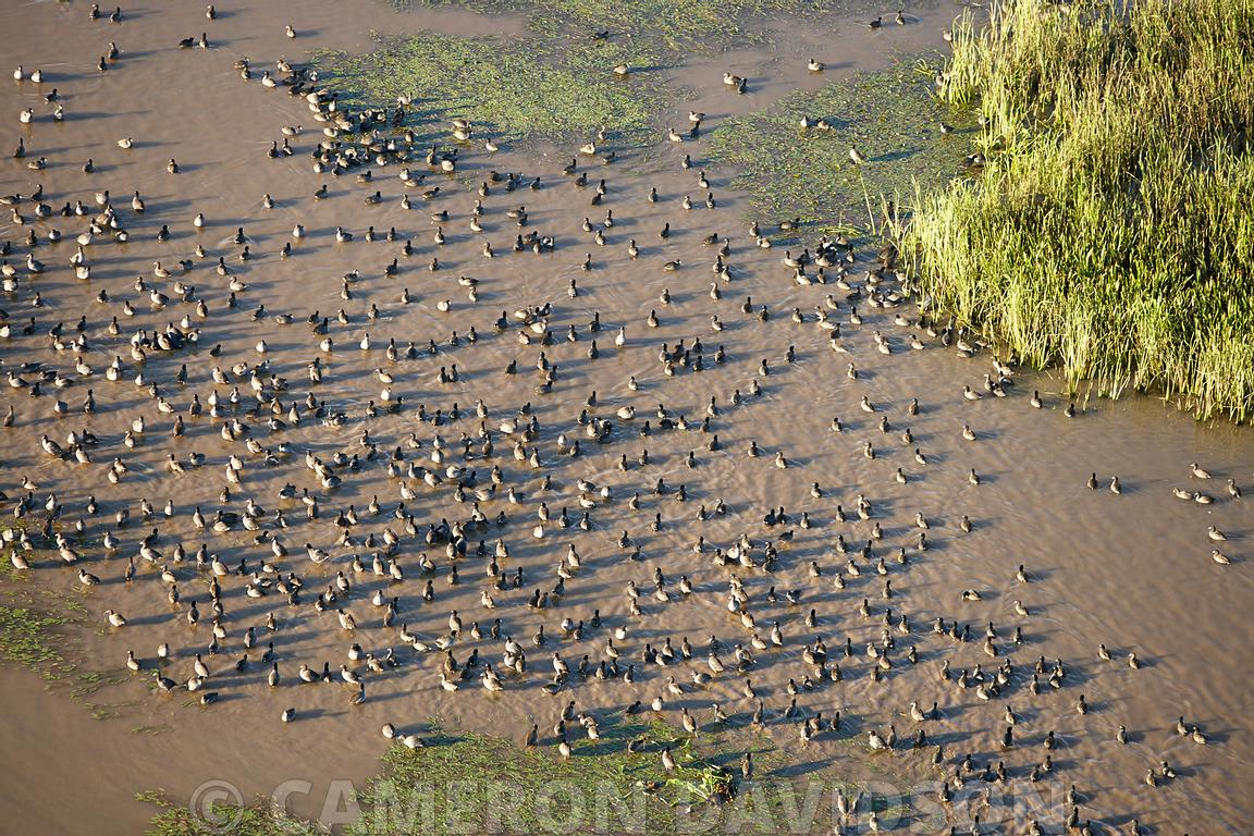 Aerial of Coots in the Atchafalaya Delta State Wildlife Management area
