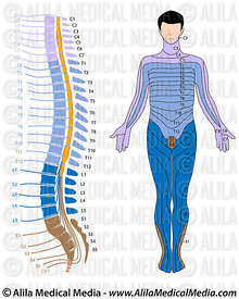 Spinal cord and dermatome map