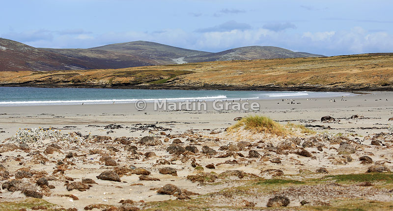 Cliff Point Bay, Saunders Island, Falkland Islands, with penguins on the beach