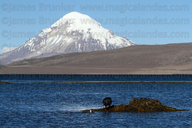 Giant coot (Fulica gigantea) on nest and young on Lake Chungara, Sajama volcano in background, Lauca National Park, Region XV...