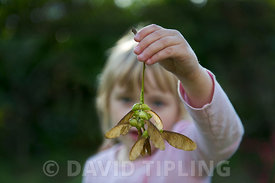 Young girl holding sycamore seeds Norfolk autumn