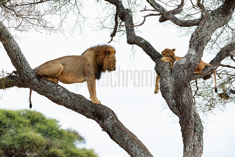 Male Lion Waiting Patiently in an Acacia Tree to Mate with a Lioness