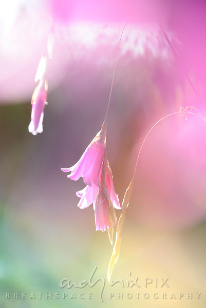 Pink bell-like flowers hanging in the sunlight