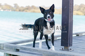 koolie on the dock