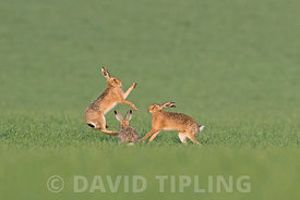 Brown Hare Lepus europaeus boxing in spring North Norfolk