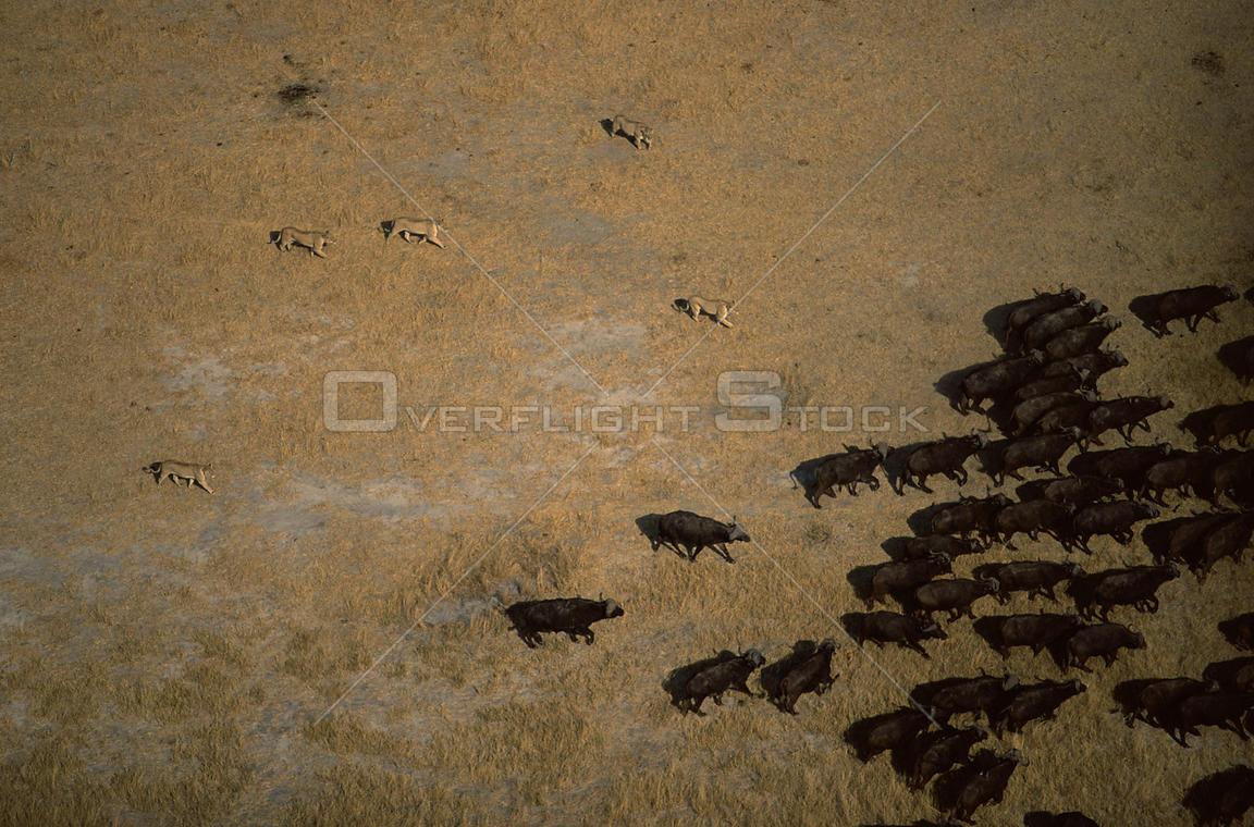 OverflightStock | Aerial view of African lion pride