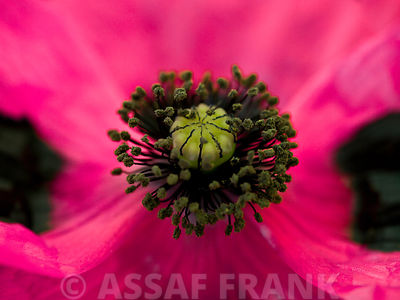 Stigma of pink poppy, close-up